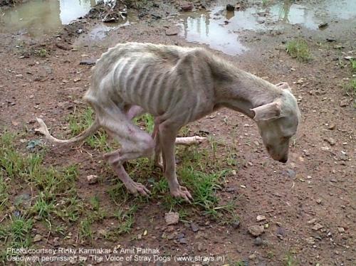 straydogimage-emaciatedwhitedogribs
